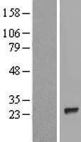 NBL1-12249 - KIAA0495 Lysate