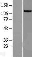 NBL1-12251 - KIAA0564 Lysate