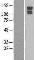 NBL1-12252 - KIAA0649 Lysate