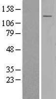 NBL1-12254 - KIAA0746 Lysate