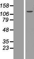 NBL1-12255 - KIAA0776 Lysate