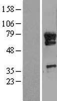 NBL1-12256 - KIAA0859 Lysate