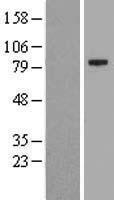 NBL1-12259 - KIAA1161 Lysate