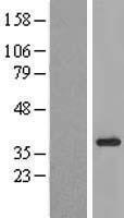 NBL1-12261 - KIAA1191 Lysate