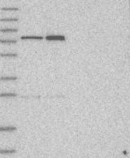 NBP1-84143 - KIF1-binding protein