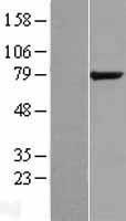 NBL1-15487 - KIAA1434 Lysate