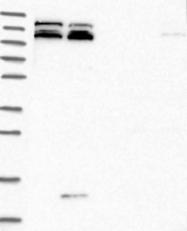 NBP1-93851 - KIAA1468