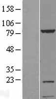 NBL1-12267 - KIAA1530 Lysate