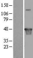 NBL1-12269 - KIAA1576 Lysate