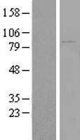 NBL1-12270 - KIAA1586 Lysate