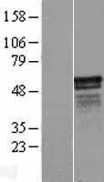 NBL1-12277 - KIAA1737 Lysate