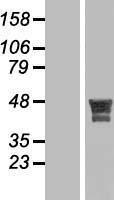 NBL1-12280 - KIAA1826 Lysate