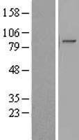 NBL1-12282 - KIAA1958 Lysate