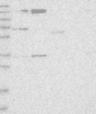NBP1-92052 - WWC1