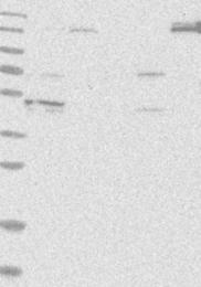 NBP1-85984 - KIF12