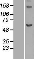 NBL1-12285 - KIF12 Lysate