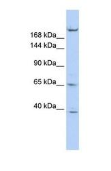 NBP1-58258 - KIF13B