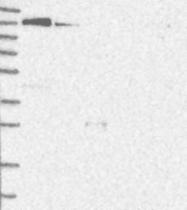 NBP1-83252 - KIF15