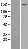 NBL1-12286 - KIF16B Lysate