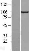 NBL1-12288 - KIF18A Lysate