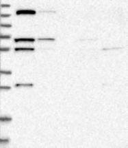 NBP1-85978 - KIF1C