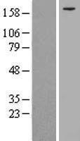 NBL1-12292 - KIF21A Lysate