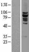 NBL1-12294 - KIF2C Lysate