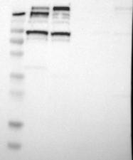 NBP1-81512 - KIF3B
