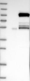 NBP1-82772 - KIF9