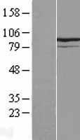 NBL1-12298 - KIF9 Lysate