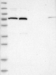 NBP1-86021 - KIFC3