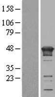 NBL1-12300 - KIN Lysate