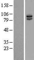 NBL1-12304 - KIRREL 3 Lysate