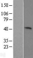 NBL1-17602 - KIST Lysate