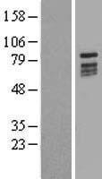NBL1-08365 - KIZUNA Lysate