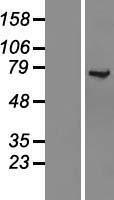 NBL1-12308 - KLC1 Lysate