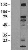NBL1-12309 - KLC2 Lysate