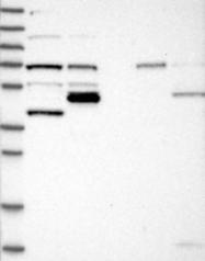 NBP1-88773 - KLC4