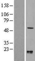 NBL1-12312 - KLF10 Lysate