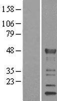 NBL1-12317 - KLF15 Lysate