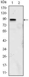 NBP1-51636 - KLF4