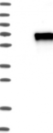 NBP1-83940 - KLF4