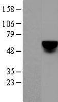 NBL1-12320 - KLF4 Lysate