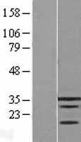 NBL1-12323 - KLF9 Lysate