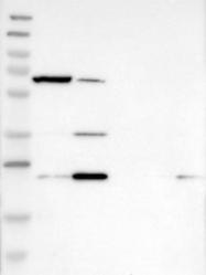 NBP1-81528 - KLHDC10