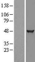 NBL1-12325 - KLHDC2 Lysate