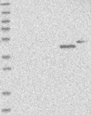 NBP1-85195 - KLHDC3