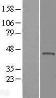 NBL1-12326 - KLHDC3 Lysate