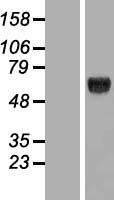 NBL1-12327 - KLHDC4 Lysate