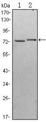 NBP1-51623 - Kelch-like protein 13